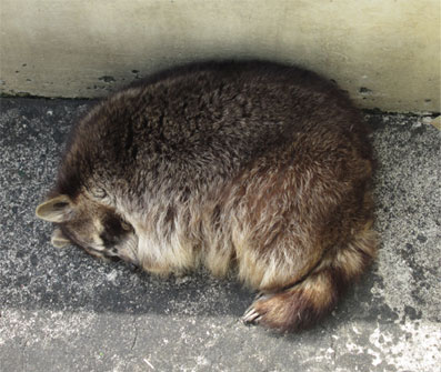 0722raccoon.jpg
