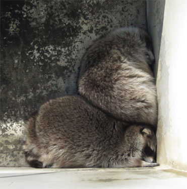 raccoon0316.jpg